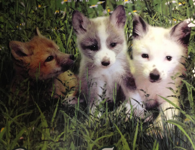 Three very cute domesticated foxes sitting in the grass