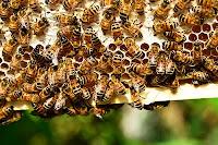 usaha ternak lebah, bisnis lebah, bisnis ternak lebah, usaha ternak lebah maduk, ternak lebah, lebah madu