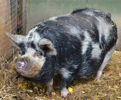 Tattershall Farm Park - A review - pig