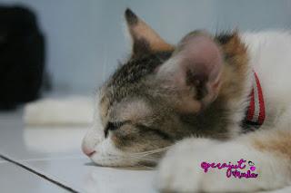 Kucing Mix Dome, kucing lucu, Kucing pintar, Bocil, Kucing domestik