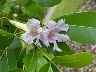 Tabebuia pallida - Calice du Pape - Tête Comore