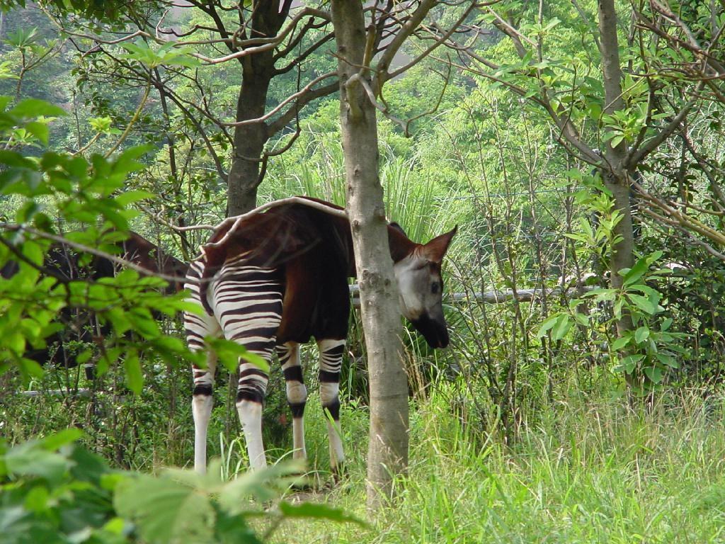 Okapi wildlife reserve essay