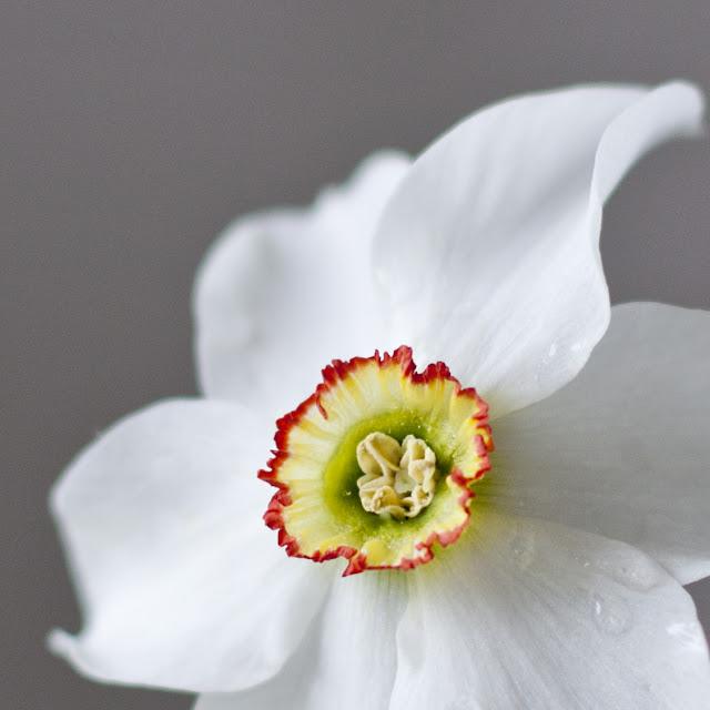 цветок нарцисса макро