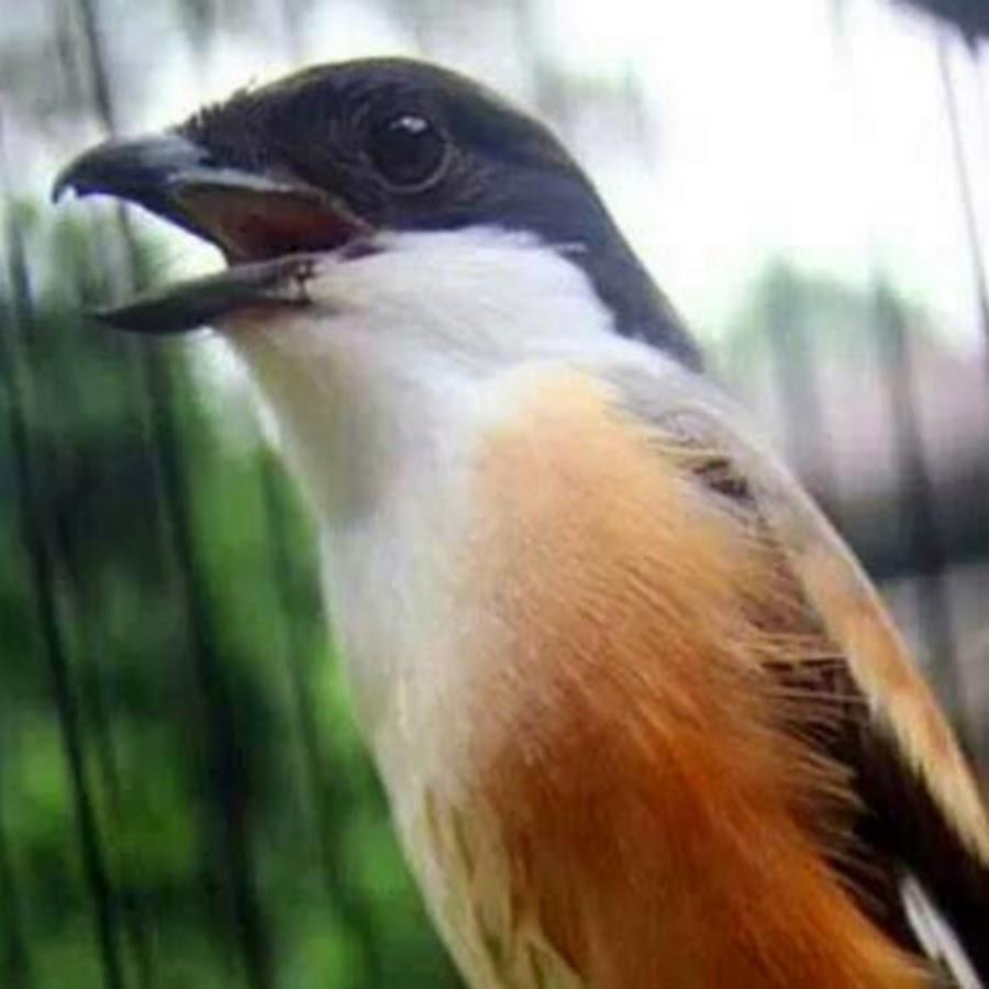 Begini Cara Perawatan Burung Cendet Cepat Gacor Tips Burung Kicau