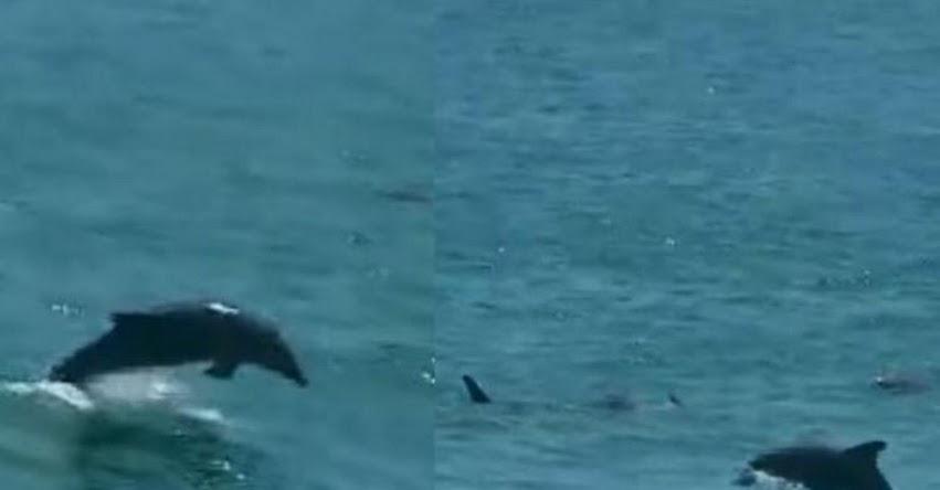 CORONAVIRUS: Delfines nadan en la Costa Verde aprovechando ausencia de humanos por aislamiento [VIDEO]