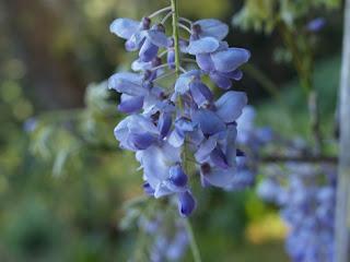Glicinia (Wisteria floribunda)