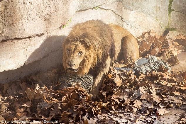 Čovjek teško ozlijeđen nakon što su ga napala tri lava.