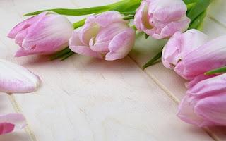 Tulipani viola e rosa