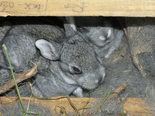 baby bunnies american chinchilla nest box