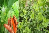 Obat herbal keputihan dari kunyit dan beluntas