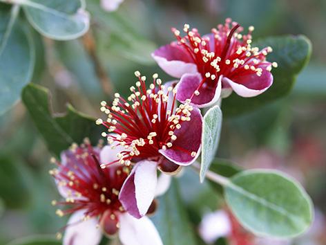 Flores de la Feijoa