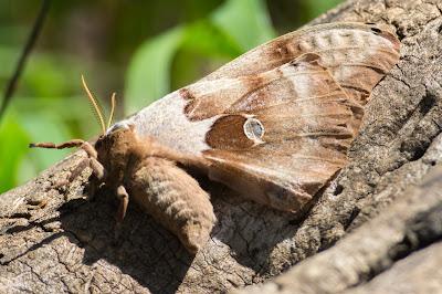 Polyphemus Moth, Hagerman NWR