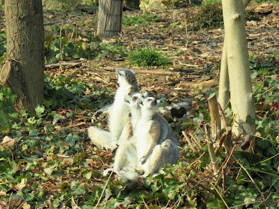 Ring-Tailed Lemurs, Including mama & baby at Paris Zoo