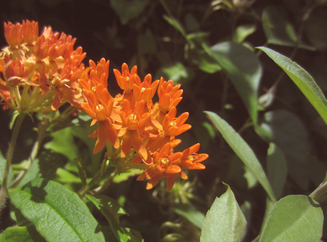 The Flying Clubhouse - Orange Butterfly Weed