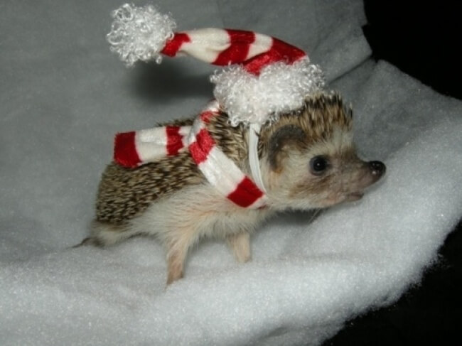 25 Thrilling Images That Made Our Day - An adorable little hedgehog looking forward to Christmas