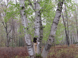 Spectacular Birch Grove At The Marion Brooks Natural Area