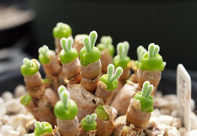 ウサギのような植物画像