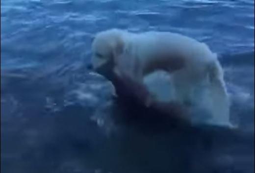 VIDEO: Perro se lanza al agua y salva a una cría de ciervo