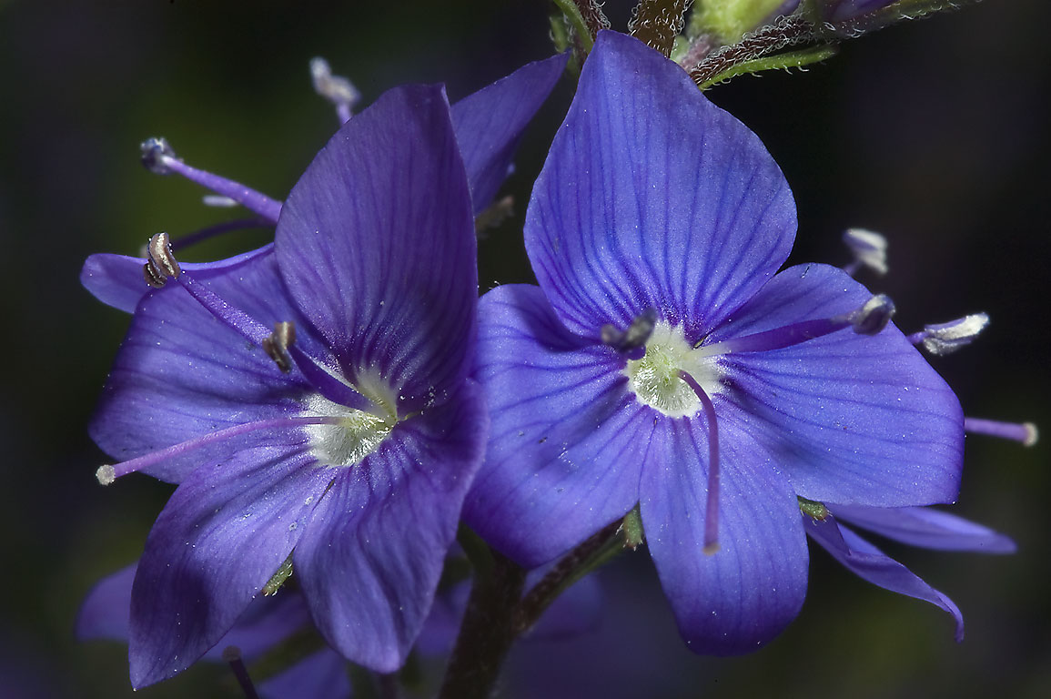 Flower Picture: Veronica Flower