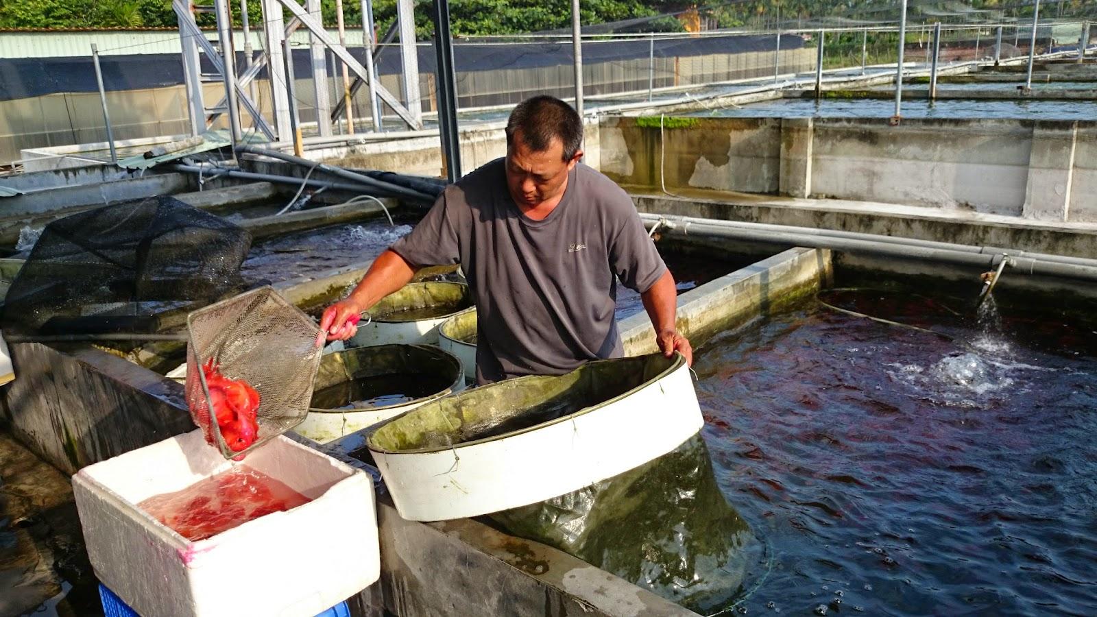Estudiando agricultura en taiw n pez loro rojo 1 for Criaderos de pescados colombia