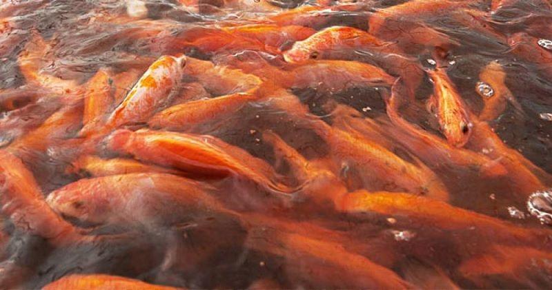 Gambar Cara Budidaya Ikan Nila Merah di Kolam Tanah