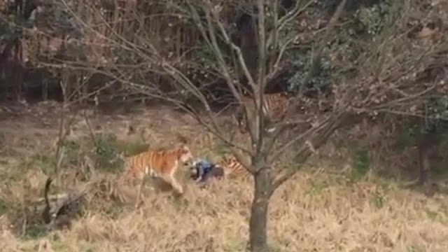 Man Ripped to Death By Tigers After Entering Their Enclosure