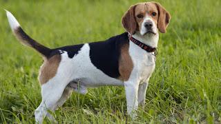 cho beagle