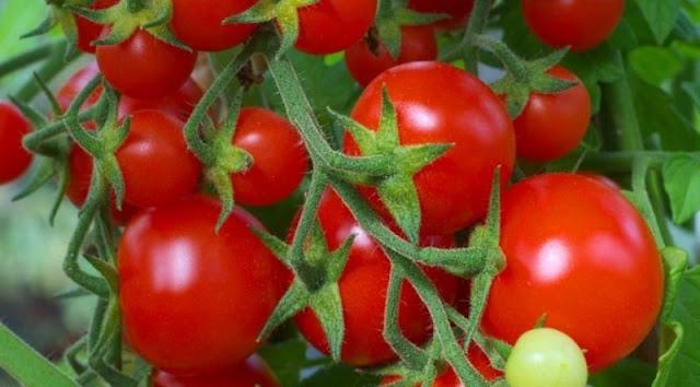 Manfaat Buah Tomat (Tomato) Untuk Kesehatan Dan Kecantikan (Health And Beauty)