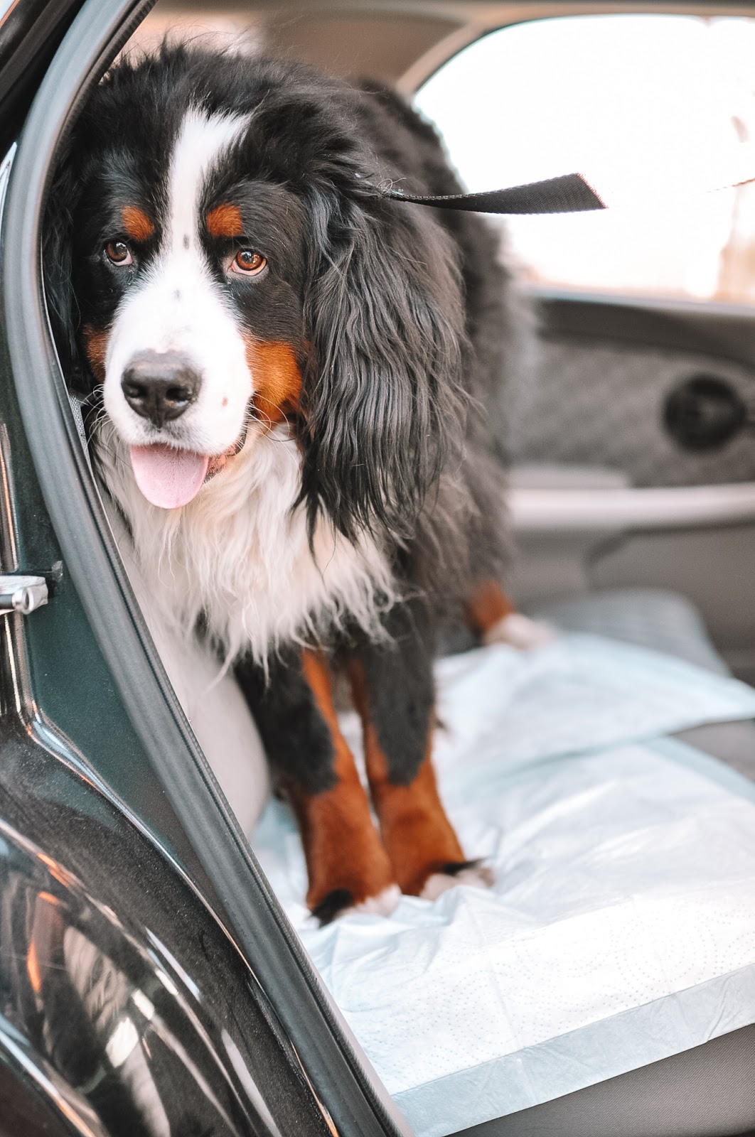 Kylo the Mountain Dog uses Hartz Dog Pads when riding in the car