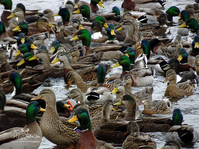 Mass Of Ducks