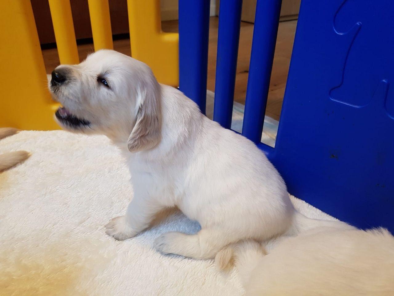 Healthy Golden Retriever Puppies For Sale Purebred Akc Retrievers