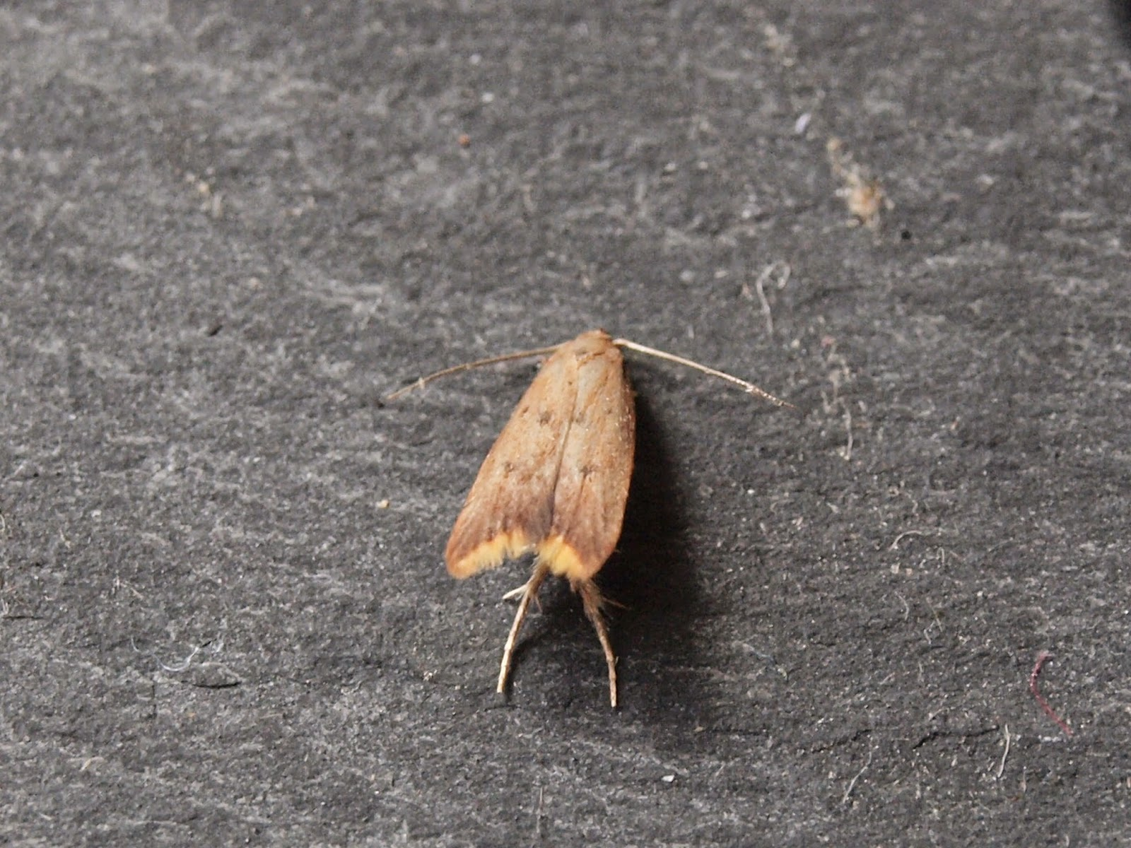 On Sunday 24th May I Spotted A White Shouldered House Moth In The Garage New For Year