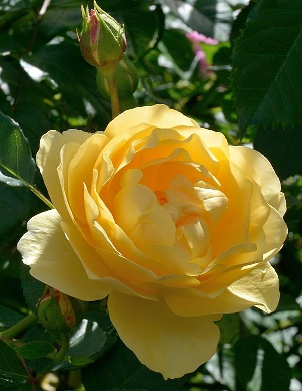 Goldstern сорт розы Тантау фото
