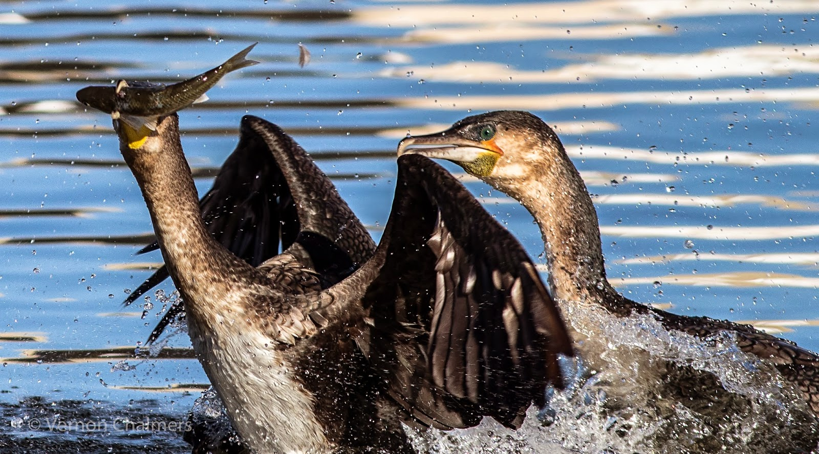 Cormorants Fishing - Milnerton Lagoon / Woodbridge Island