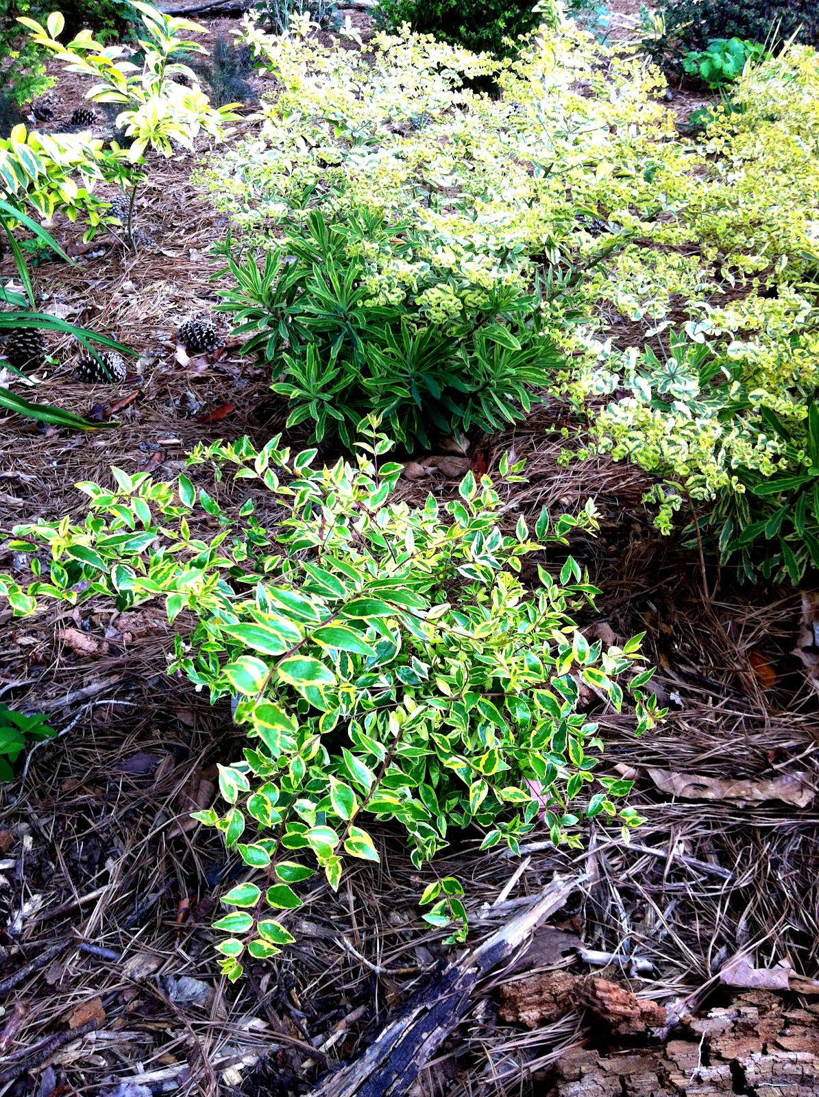 Plant Preview Extraordinary History Behind Twist Of Lime Abelia