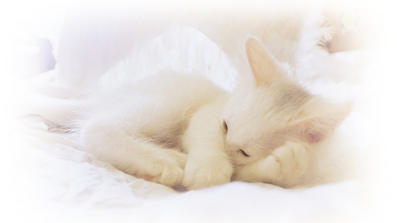 Cats and Dogs Blog: white kittens for sale