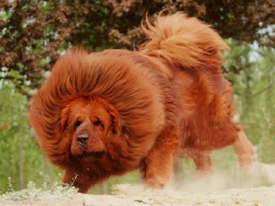 Loài chó mạnh mẽ nhất thế giới-Ngao tây tạng