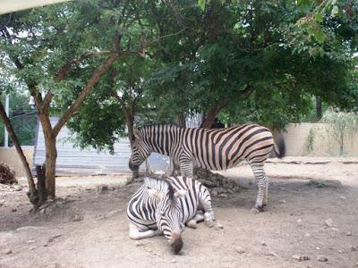 zebre grădina zoo Chișinău