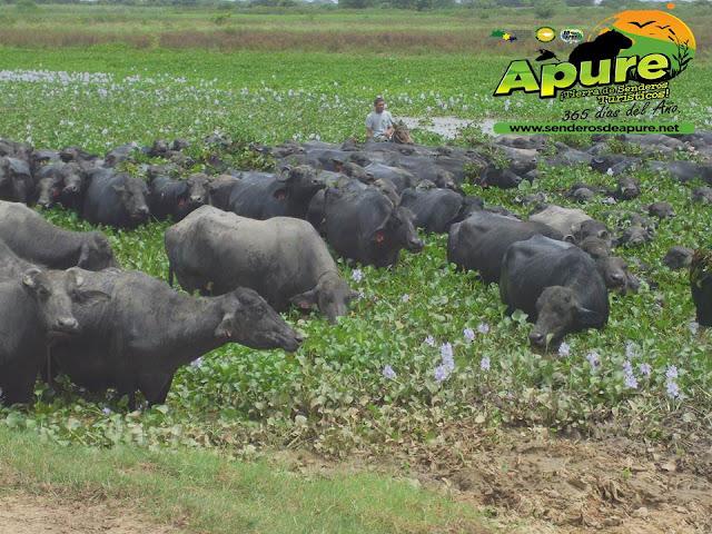 APURE: Bufalinas del hato la Guanota en Venezuela. FOTOS. TURISMO.
