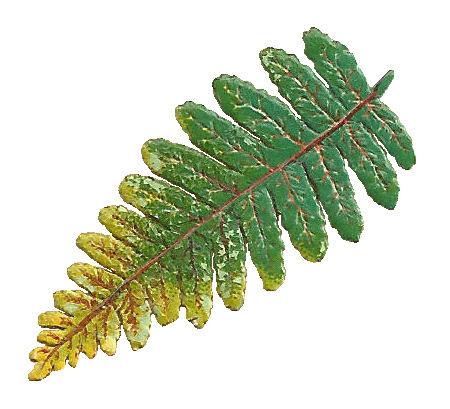 Vintage Fern Clip Art Victorian Botanical Scrap Of Leaf