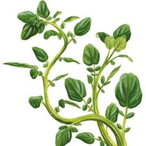 Agrião, nome científico: Nasturtium officinalis