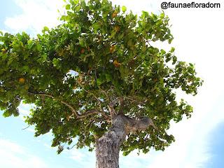 Mangue-branco Laguncularia racemosa (L.) C.F.Gaertn.