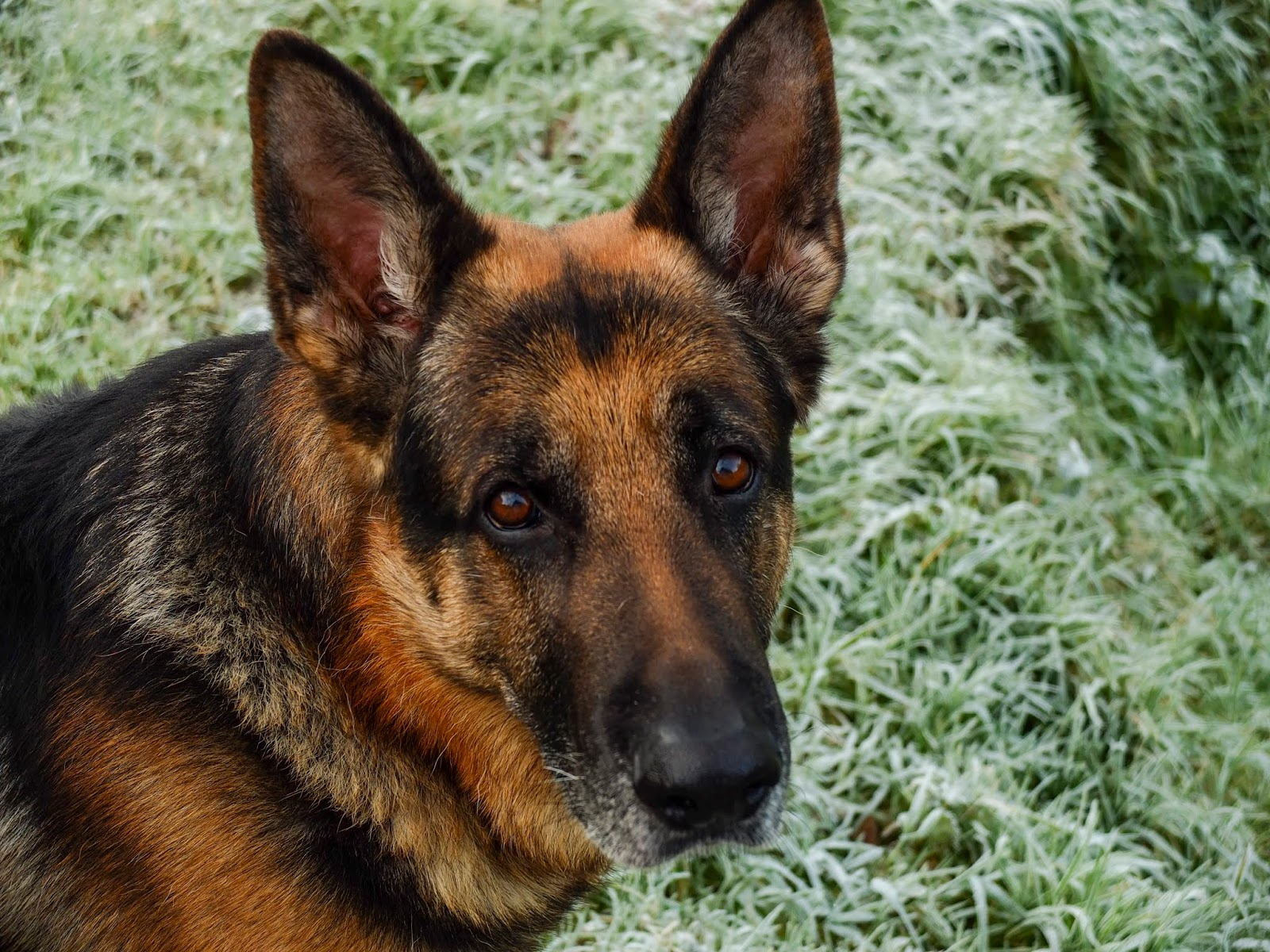 A portrait of a German Shepherd sitting on frosty grass looking up at the camera.