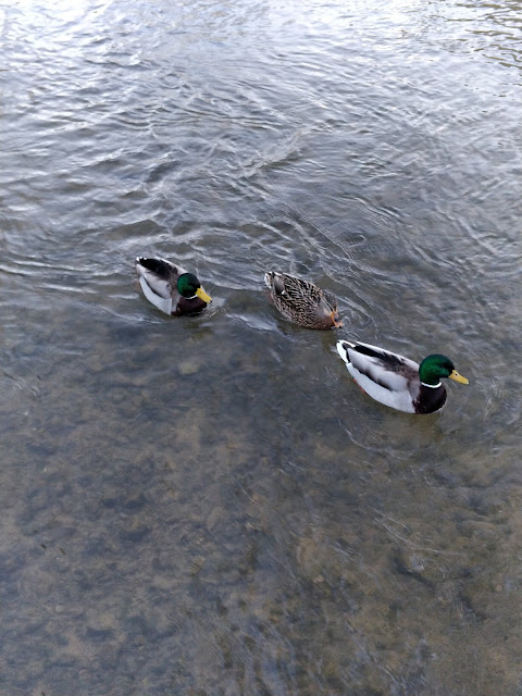 ducks at Bourton on the water, Cotswolds