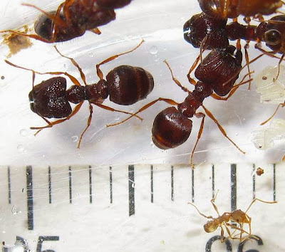 The major workers and a minor worker of a rare Pheidole species