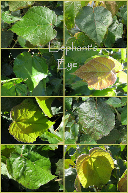 Dombeya burgessiae Leaf collage from Porterville 2010