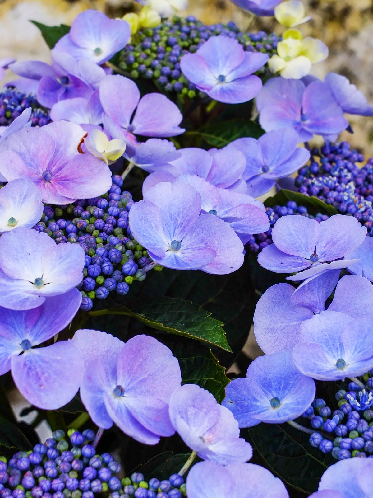 A close up of blue flowers from a Lacecap Hydrangea shrub.