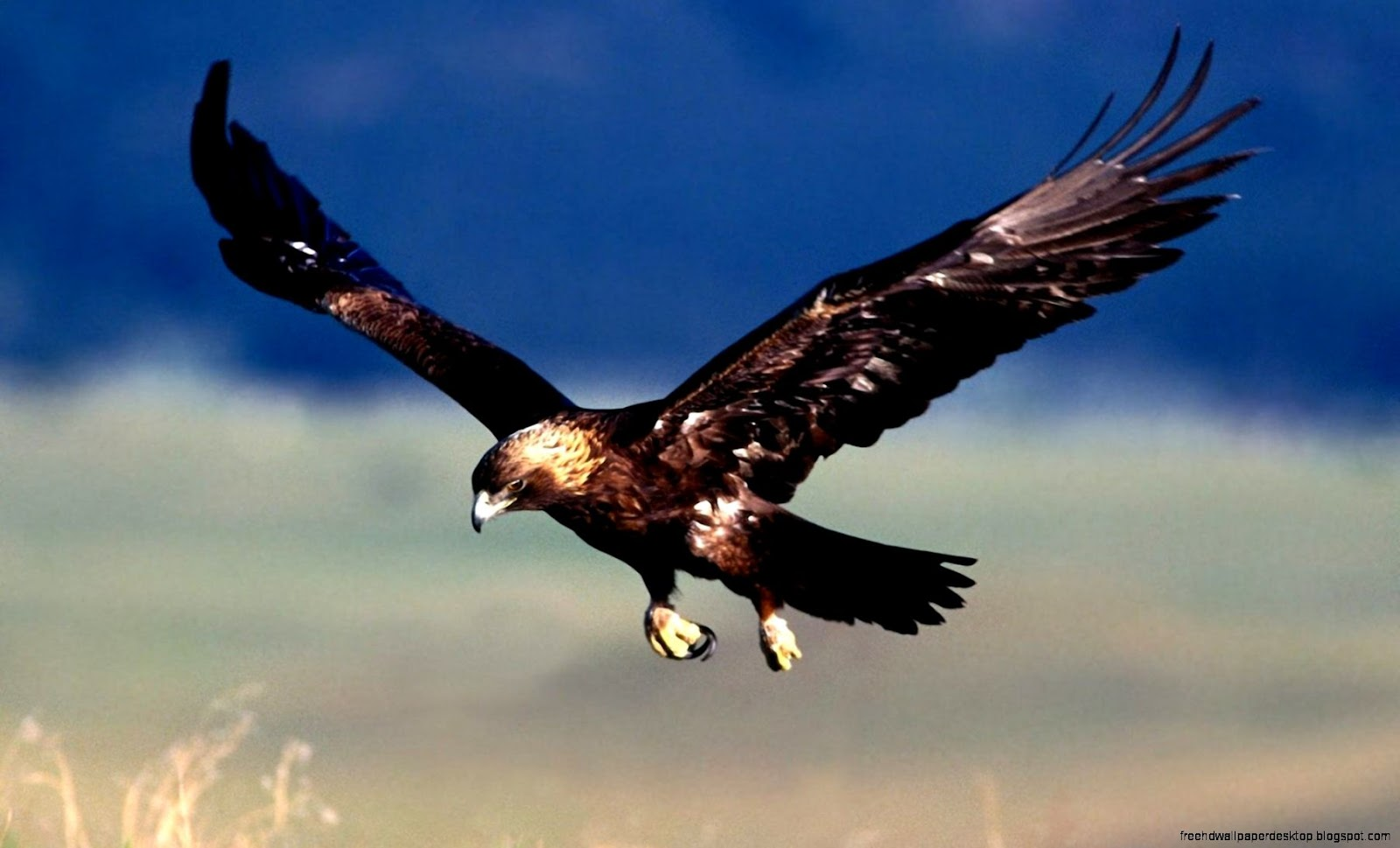 Bird Hawk Flying Hd Wallpaper | Free High Definition ...