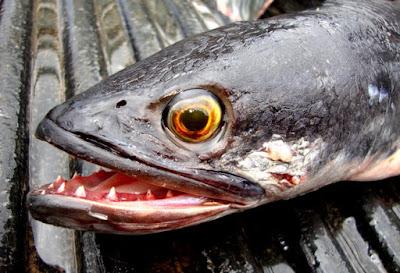 Indonesia Ternyata Punya Ikan Yang Lebih Ganas Dari Piranha