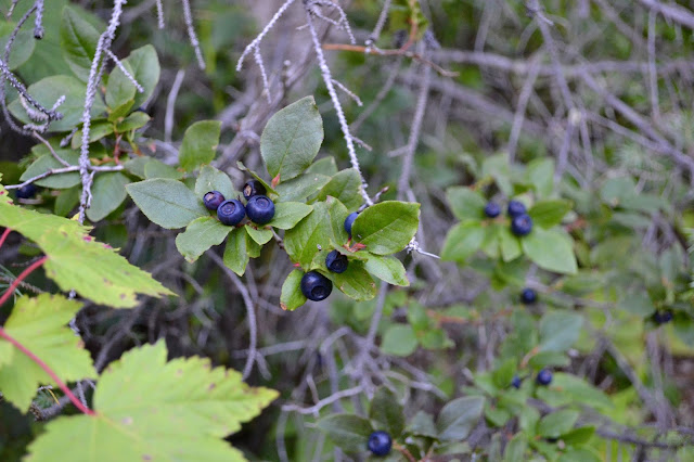 wild mountain huckleberries